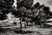 alberi in fila Jpeg