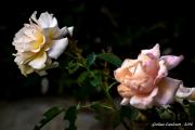 roses Jpeg